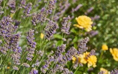 Ferienhaus Toskana 2 Lavendel mit Rosen