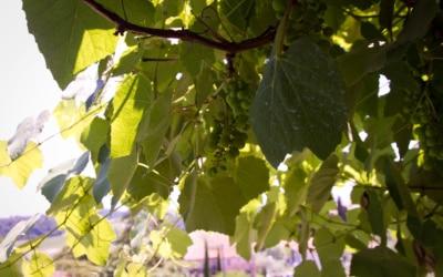 Ferienhaus Toskana 2 Weinreben