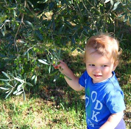Toskanischer Jungpflücker im Olivenhain derVilla Follonica.