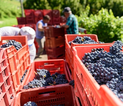 Weinlese beim Nischenproduzent in der Weinstadt Terricciola