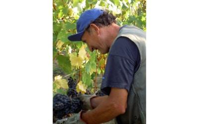 Weinlese in der Toskana (1)