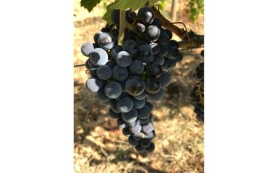 Weinlese in der Toskana (11)