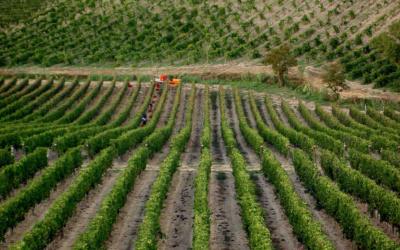 Weinlese in der Toskana (16)