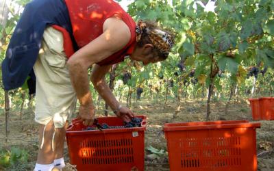 Weinlese in der Toskana (23)