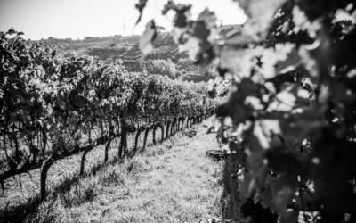 Weinlese in der Toskana (28)