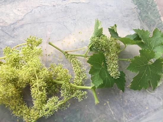Mitte Juni sehen die Trauben so aus! © Toscana Forum