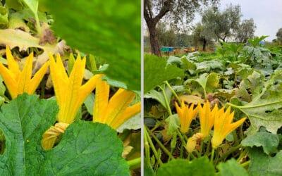 Landgut Terricciola Bio-Gemüsegarten (2)