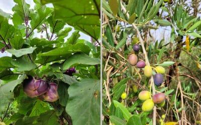 Landgut Terricciola Bio-Gemüsegarten (3)